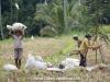 Rice harvest, Bali, Indonesia